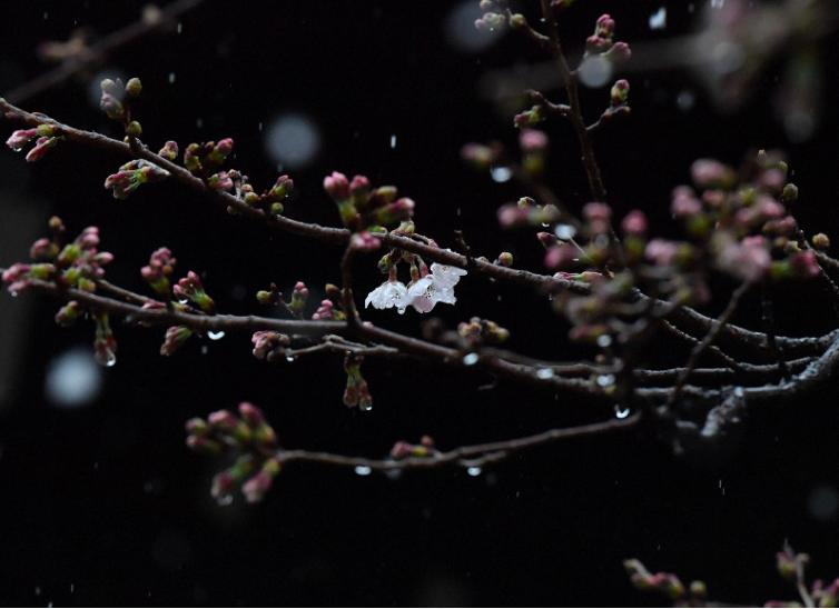 Năm nay, hoa anh đào nở sớm, từ những ngày đầu tháng 3 đã bắt đầu hé nụ. Theo Cơ quan khí tượng Nhật Bản, đây là năm hoa nở sớm trong lịch sử, hai lần trước đó được ghi nhận vào năm 2002 và 2013. Theo dự kiến, hoa sẽ nở rộ từ trung tuần đến cuối tháng 3. Trong ảnh là một nhành anh đào đã nở những hoa đầu tiên vào ngày 6/3.