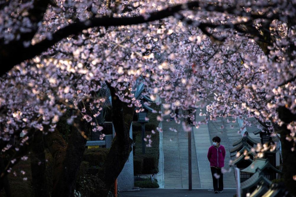 Người phụ nữ đi bộ dưới những tán hoa anh đào ở Saitama. Dù hoa đã nở rộ nhưng chẳng có nhiều người ghé thăm.