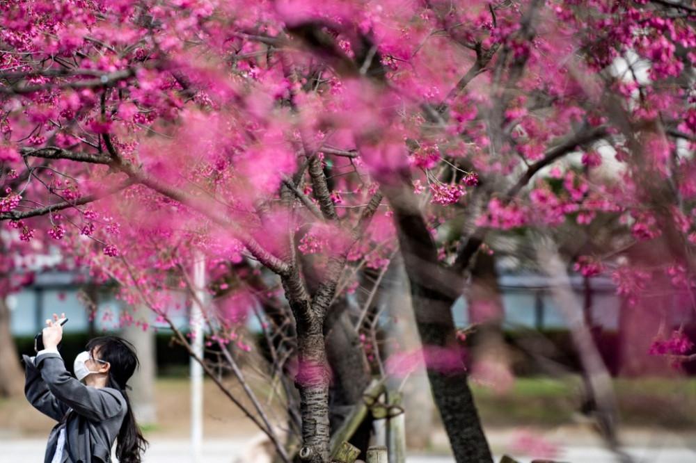 Lễ hội hoa anh đào nhiều năm qua đã đóng góp 2,7 tỷ USD cho nền kinh tế Nhật Bản. Vì thế, năm nay, với lượng khách sụt giảm nghiêm trọng đã gây thiệt hại không nhỏ.