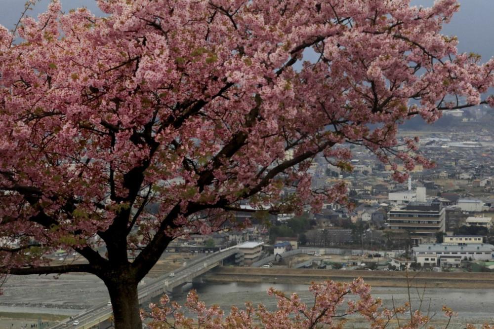 Một cây hoa anh đào cổ thụ nở bông hồng rực ở Matsuda, tỉnh Kanagawa, Nhật Bản.