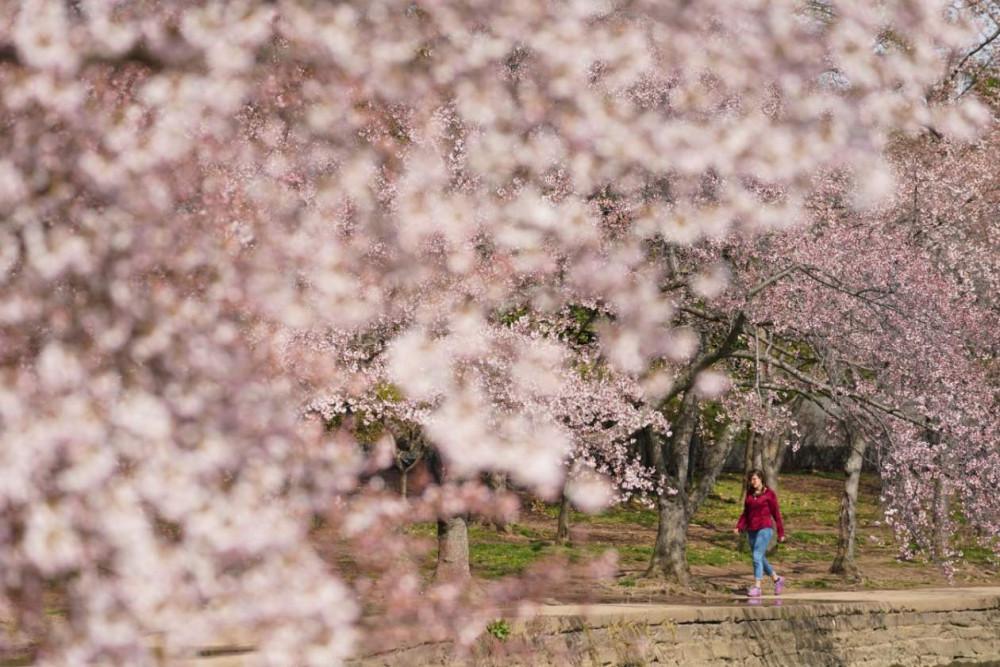 Hoàng gia Nhật Bản hôm thứ Sáu vừa rồi cũng cho biết sẽ không mở cửa đường hoa anh đào Inui trong khu vực cung điện hoàng gia ở Tokyo để ngăn chặn những ảnh hưởng từ dịch bệnh. Trước đó, đây là địa điểm thưởng ngoạn hoa được nhiều du khách lựa chọn.
