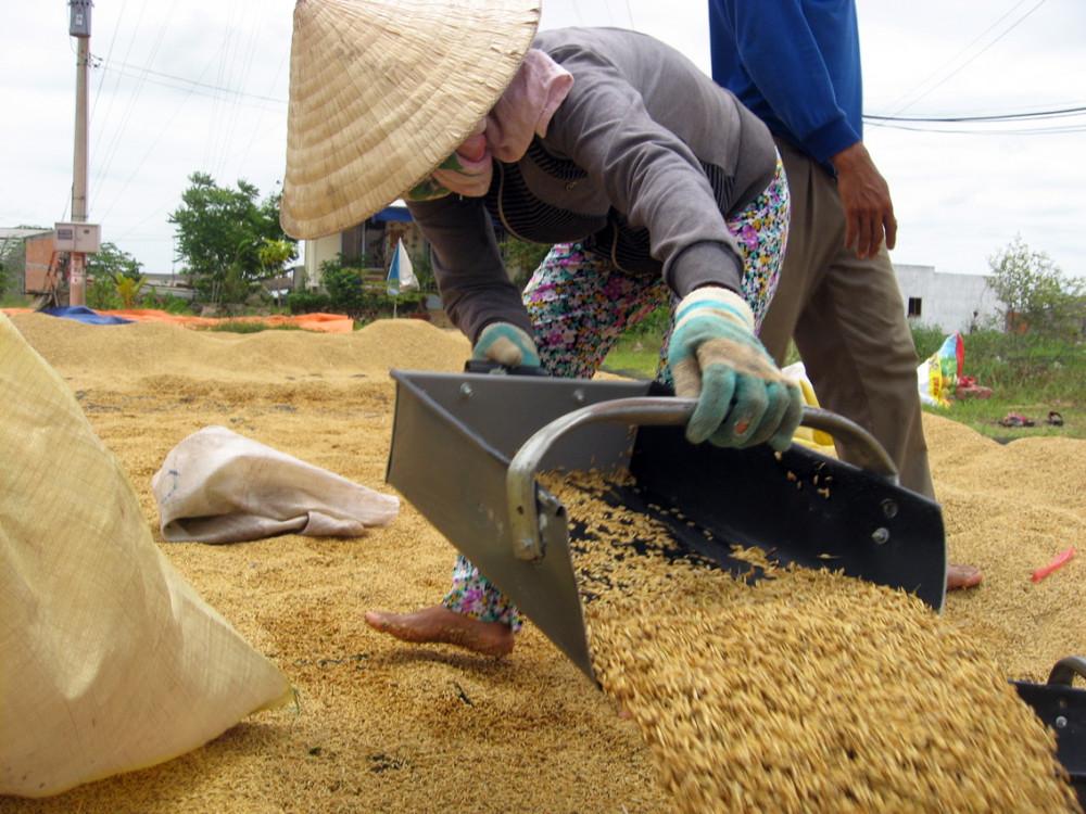 Quyết định ngưng xuất khẩu gạo đưa ra trong thời điểm giá lúa gạo tại Đông bằng sông Cửu Long tăng cao