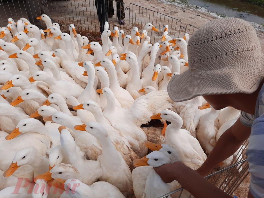 Trong đó riêng tỉnh Thừa Thiên – Huế  hiện tồn động hơn  45.000 con vịt, của trên 40 chủ trang trại vịt chạy đồng, tập trung các huyện Phong Điền, Quảng Điền
