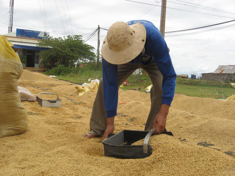 Giá lúa tại Đồng bằng sông Cửu Long liên tục giảm sau quyết định tạm dừng xuất khẩu gạo theo kiến nghị của Bộ Công thương