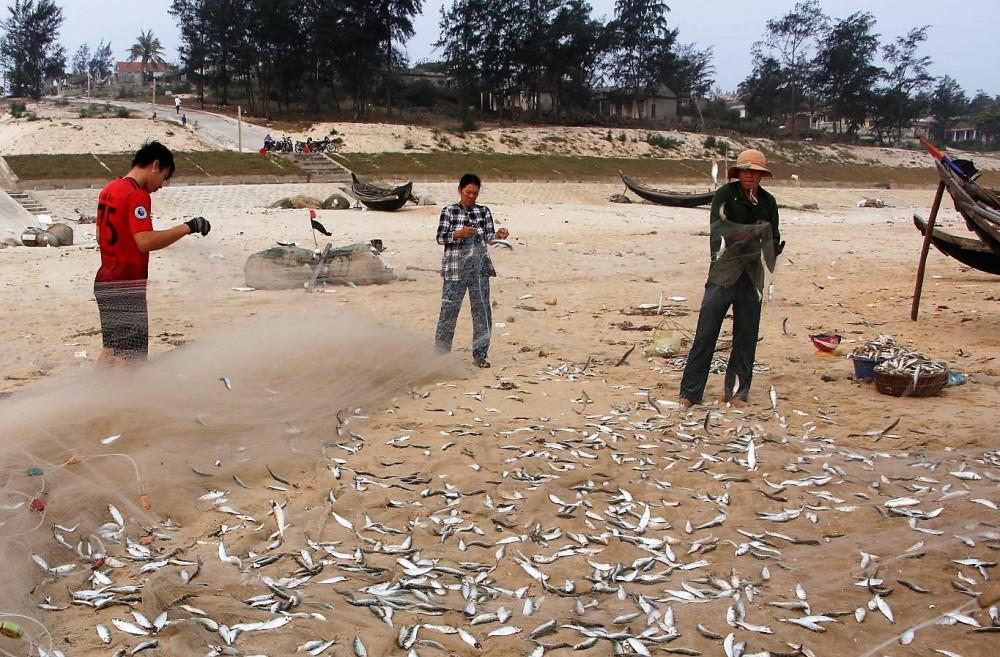 Cá trích là một trong những đối tượng đánh bắt của ngư dân cần lao động tập thể, nhất là khâu thu hoạch sau đánh bắt