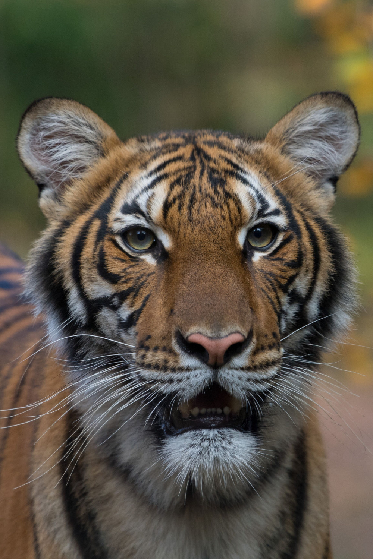 Con hổ Nadia là động vât đầu tiên xác nhận nhiễm SARS-CoV-2 tại Mỹ.