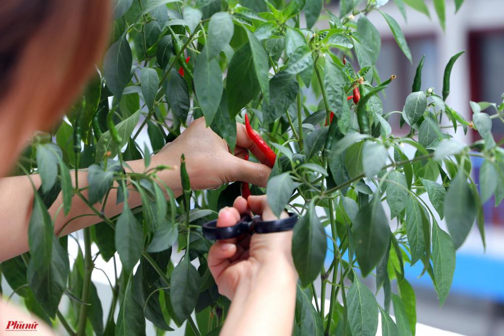 Những quả ớt chín đỏ bắt mắt được cắt vào để sử dụng.