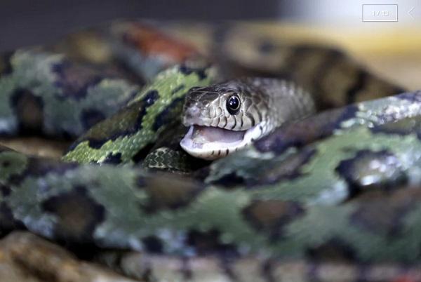 Làng rắn tại Trung Quốc giảm quy mô sau lệnh cấm buôn bán và tiêu thụ động vật hoang dã.