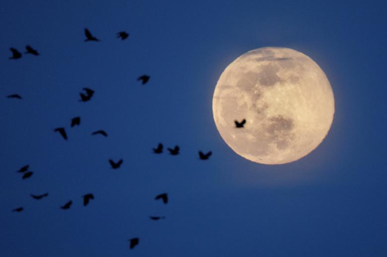 Cảnh tượng thơ mộng khi siêu trăng soi sáng một đàn chim đang bay trên bầu trở ở ở Arlington, Virginia.