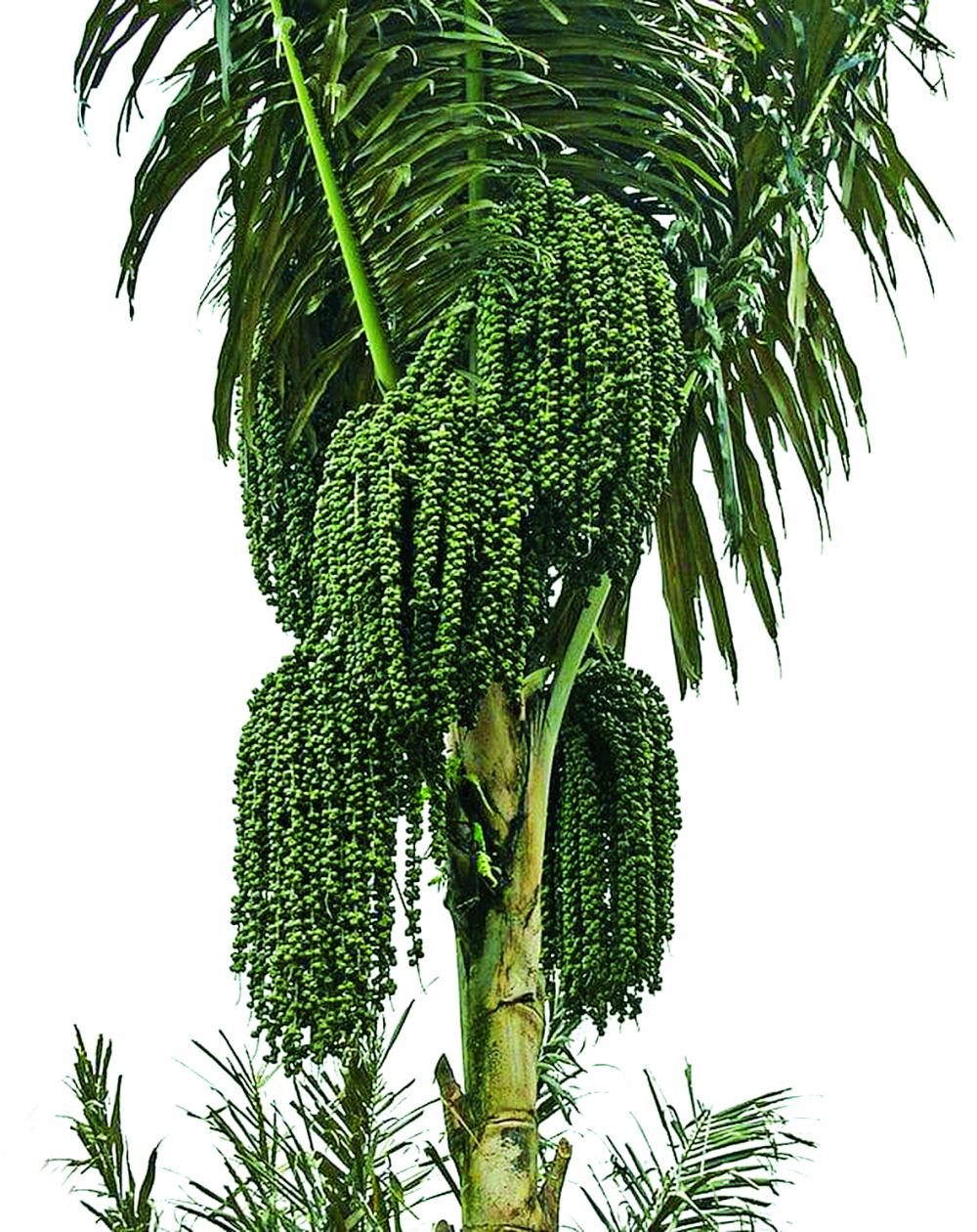 Cây đác cao lớn với nhiều buồng trái chi chít