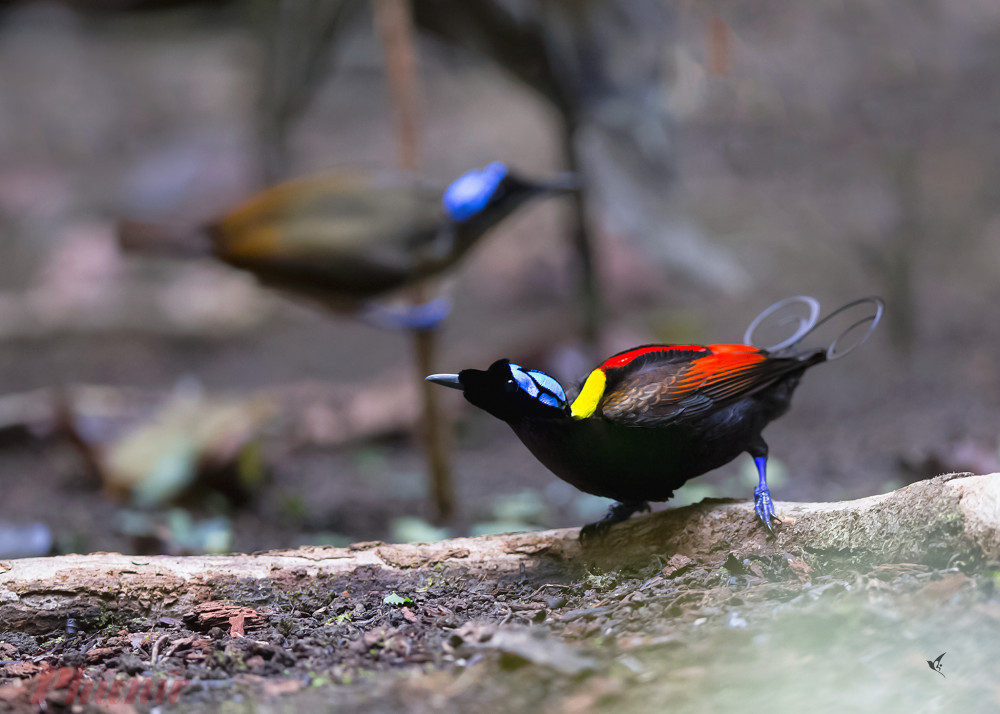 Một con chin thiên đường, anh T. chụp được ở Papua – Indonesia vào năm 2018. Đây là chim thiên đường Wilson – được xem là chim thiên đường đẹp nhất thế giới. Ảnh: H.V.T