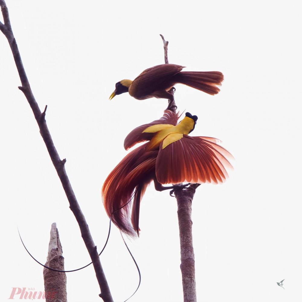 Một cặp chim thiên đường lớn do anh T. chụp được trong một cánh rừng sâu ở Costa Rica. Ảnh: H.VT.