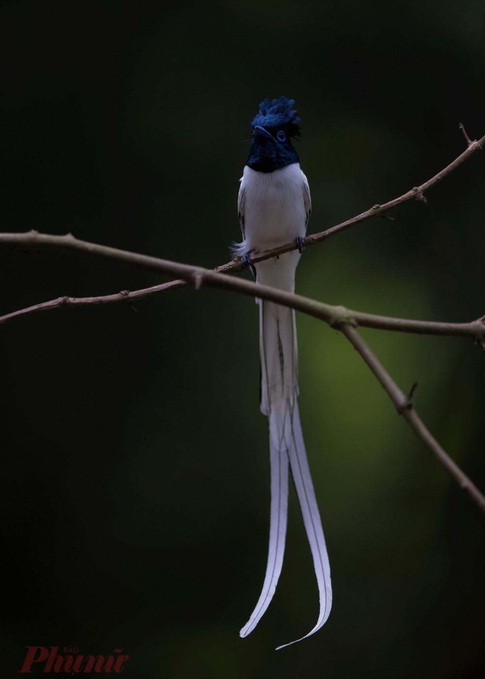 Con chim thiên đường đuôi trắng anh T. tìm thấy trong một cách rừng tự nhiên ở Đồng Nai. Do con chim khá nhát nên anh không chụp được những góc hình ưng ý. Ảnh: H.V.T