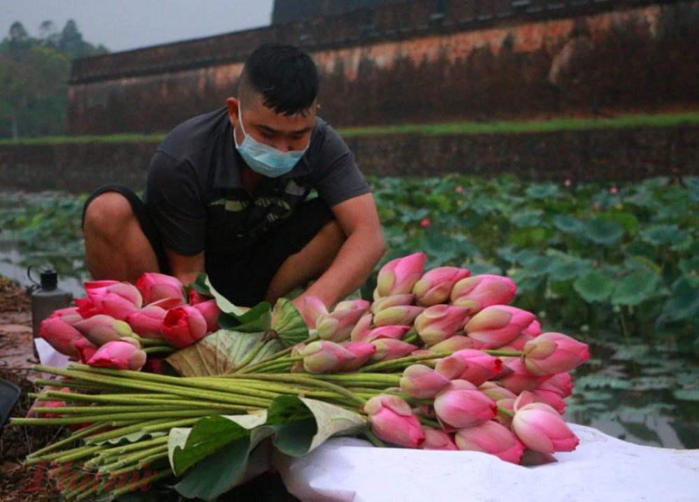 Từng búp sen hồng vẫn được gói gắm nhẹ nhàng phục vụ tận nhà cho người mê sen Huế