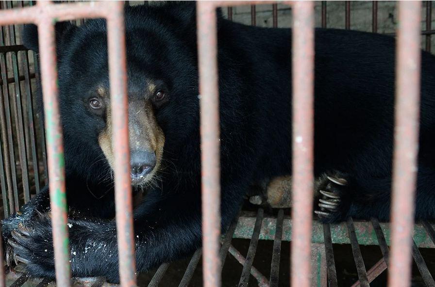 Một con gấu bị nhốt trong chuồng ở Việt Nam. Ảnh: AFP