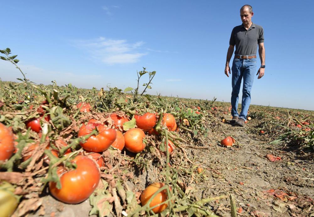 Một nông trại ở California (Mỹ)  phải cắt bỏ những dây cà chua vì thiếu nhân công thu hoạch.