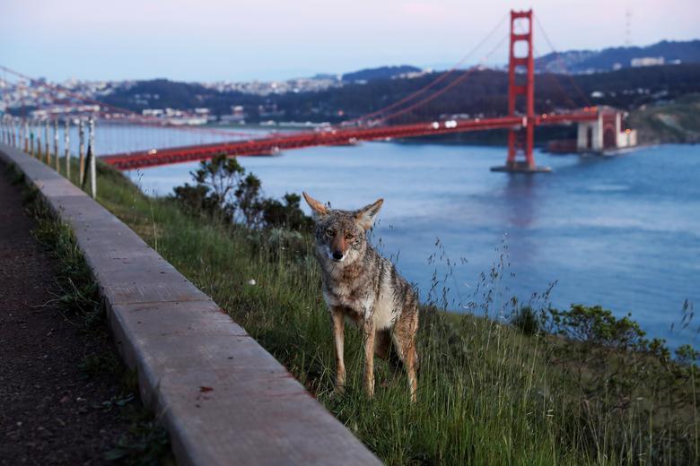 Một con sói xuất hiện tại View Vista Point, một trong những địa điểm lý tưởng để ngắm Cầu Cổng Vàng nổi tiếng tại California, Mỹ. Khi dịch bệnh chưa xảy ra, nơi đây tập trung rất nhiều khách du lịch cũng như các đôi tình nhân chụp ảnh cưới.