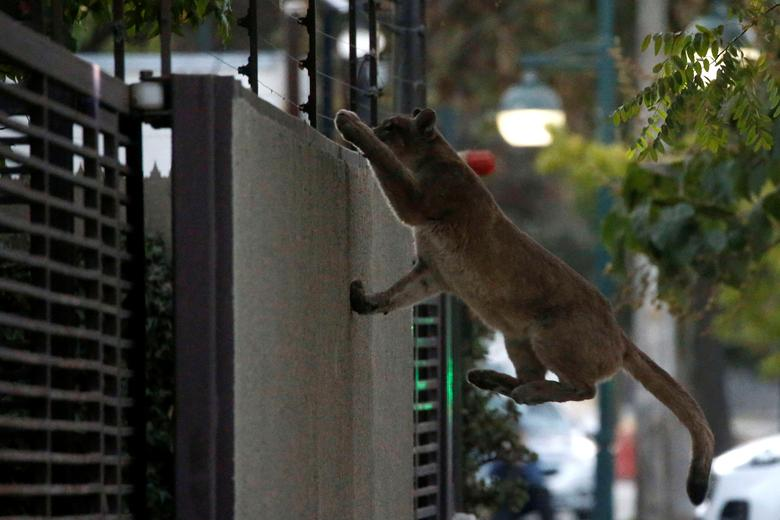 Một con báo sư tử đang cố leo lên một bức tường vào lúc bình minh tại một khu phố ở Santiago, Chi-lê hôm 24/3. Sau đó, con báo sư tử này đã bị bắt đưa về sở thú địa phương. Trong thời gian phong toả, Chi-lê đã bắt giữ ít nhất 3 con báo sư tử đi vào khu dân cư. Chính quyền cho biết do tình trạng hạn hán ở các khu vực đồi khiến nguồn thức ăn khan hiếm, cộng với việc con người ít xuất hiện trên đường phố đã dẫn lối cho những con vật này tiến vào khu vực trung tâm.