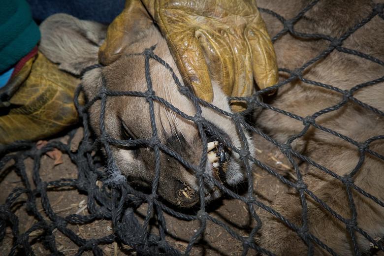 Một con báo sư tử bị bắt để đưa đến sở thú vào hôm 6/4 tại Santiago, Chi-lê.