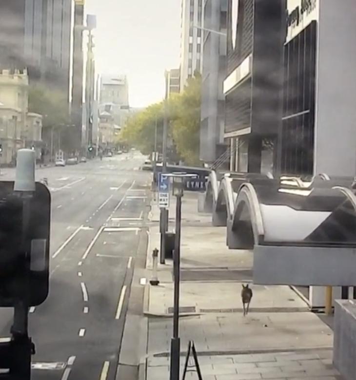 Một con kangaroo đang đi trên đường phố tại Adelaide, Úc hôm 19/4. Hiện, Úc vẫn đang kéo dài lệnh cách ly xã hội nên người dân rất ít khi ra đường.