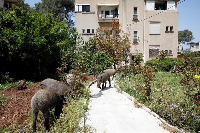 Một đàn heo rừng kéo vào khu dân cư ở Hafa, miền bắc Israel hôm 16/4. Nếu như lúc trước, thi thoảng lợn rừng có xuất hiện vào ban đêm thì nay khi đường phố vắng vẻ, chúng lang thang trên đường phố cả ngày.