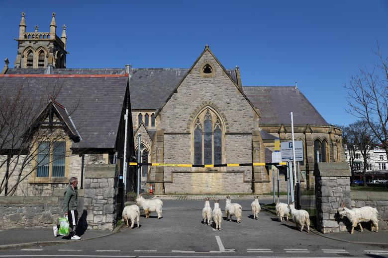 Một đàn dê xâm chiếm khuôn viên một nhà thờ ở Llandudno, Wales, Anh khi không gian nơi đây trở nên hoang vắng khi không có ai qua lại.