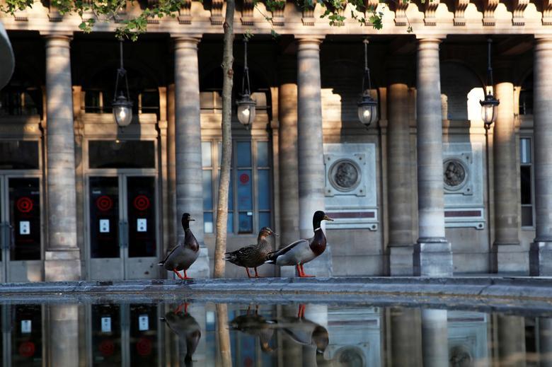 Những con vịt tiến gần khuôn viên nhà hát The Comedie Francaise, Pháp khi đường phố vắng tanh không một bóng người.