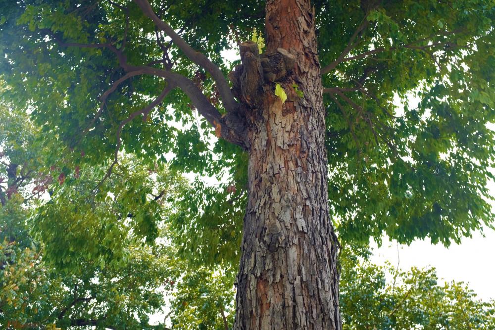Cây vấp có tán lá gần giống cây khế nhưng lá dài và nhỏ hơn. Ảnh: H. Nhiên.