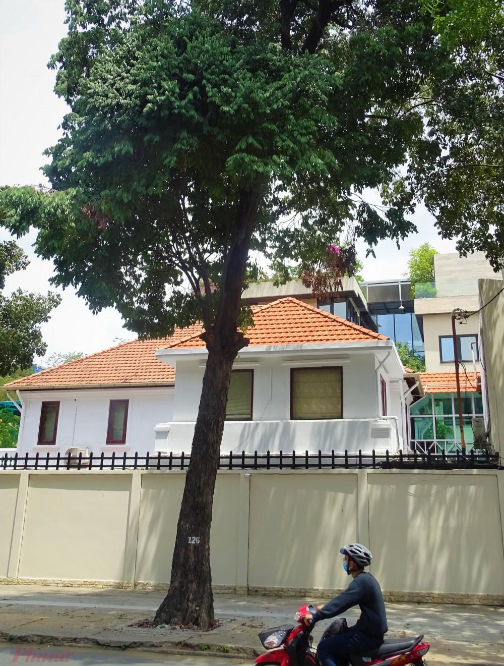 Cây vấp cổ thụ duy nhất còn sót lại trên đường phố TPHCM hiện nay, từng là loại cây đặc thù ở vùng Gò Vấp xưa kia. Ảnh: N. Nhiên.