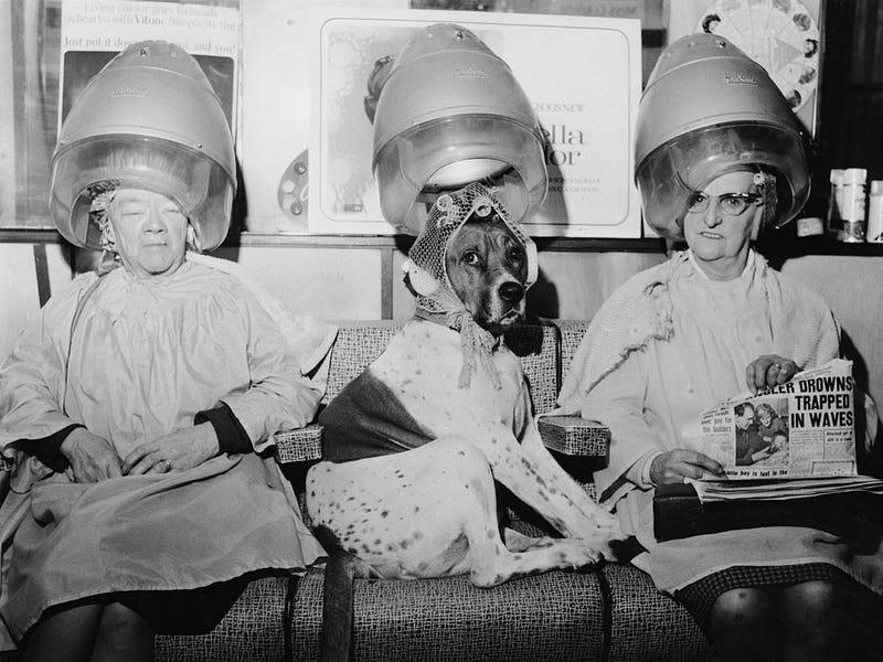 Với những gia đình giày có, thú cưng cũng được chiều chuộng và làm đẹp. Tại tiệm làm tóc của George Constantinides ở London, bộ lông của chú chó này đã được đưa vào máy uốn tóc để tạo kiểu.