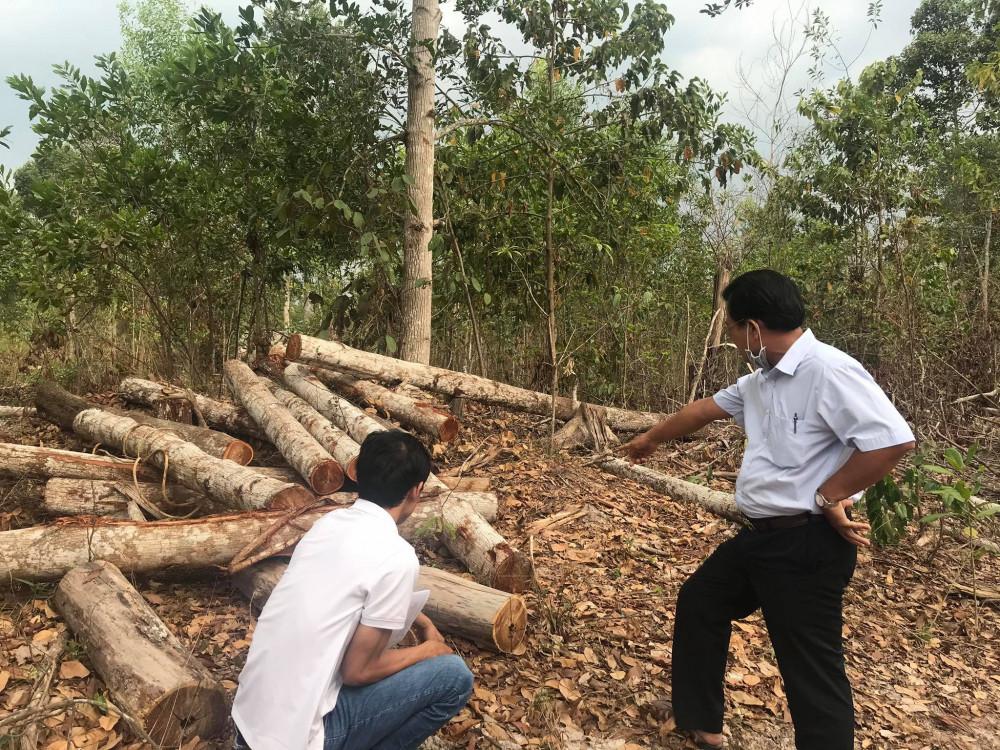 Một số cây gỗ keo tai tượng đã được đốn nhưng chưa mang ra khỏi rừng do đang trong thời gian giãn cách xã hội