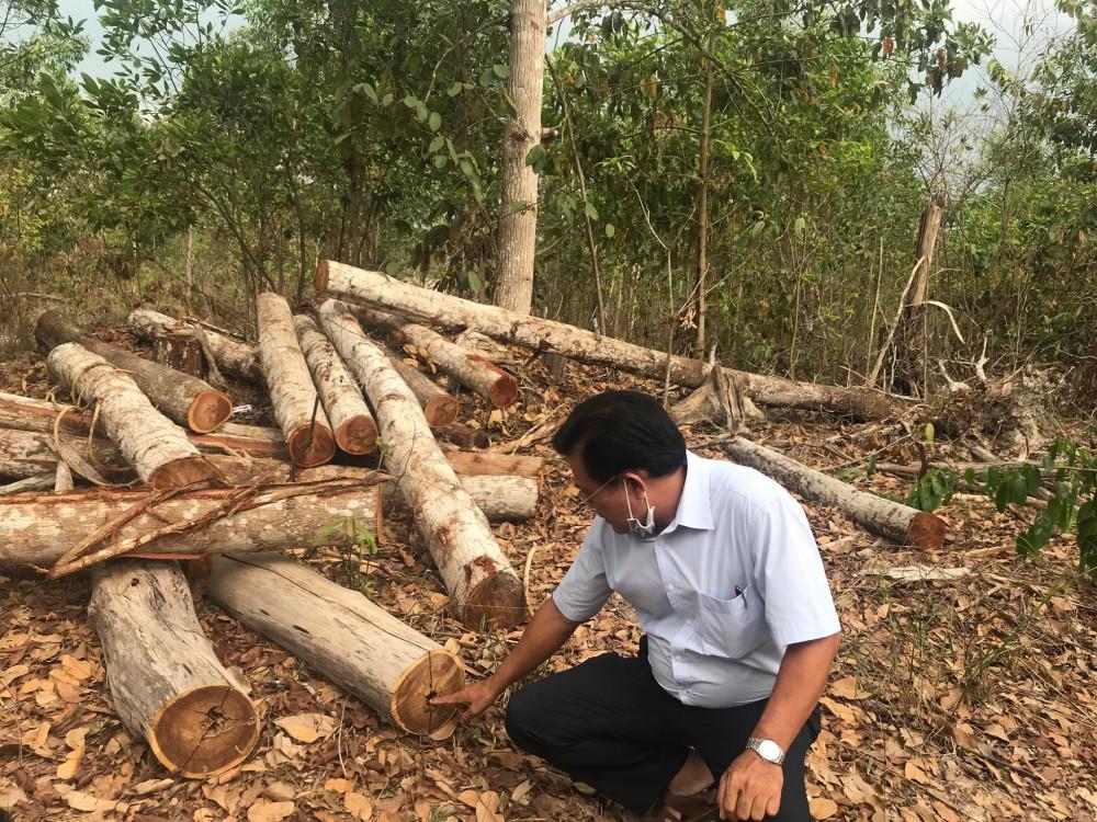 Nhiều cây keo tai tượng bị chết do tuổi đời hơn 30 năm khiến lõi cây bị mục