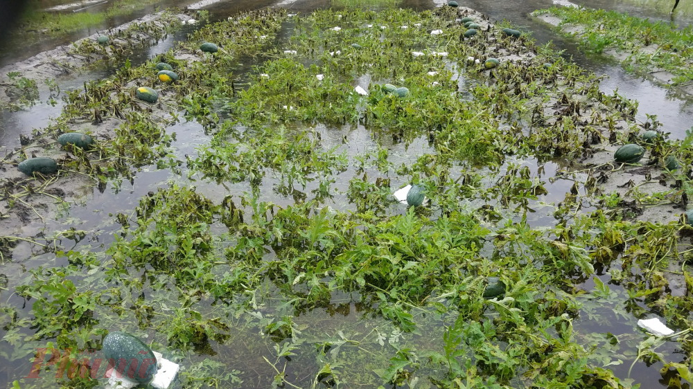 Có mặt tại thôn Thai Dương Thượng Đông vào sáng 26/4 chúng tôi thấy ruộng dưa của bà con sắp đến ngày thu hoạch đã chìm trong nước mưa