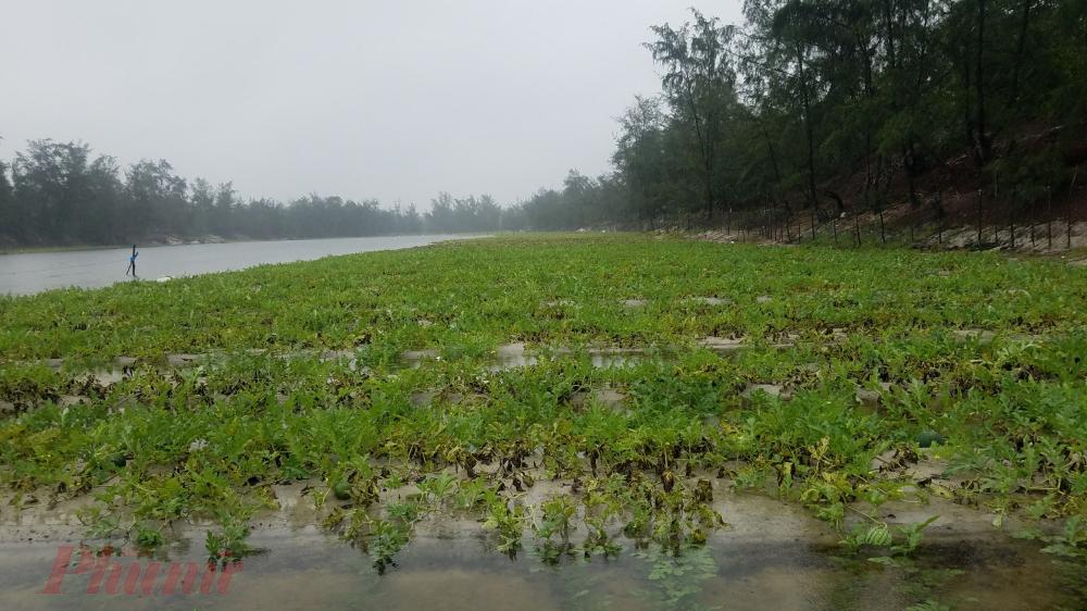 Ông Lê Xuân Hướng, Phó chủ tịch xã Hải Dương cho biết, toàn xã có khoảng 6 ha dưa hấu bị ngập úng;  trong đó 5 ha với gần 30 tấn dưa sắp thu hoạch và một ha mới gieo trồng.