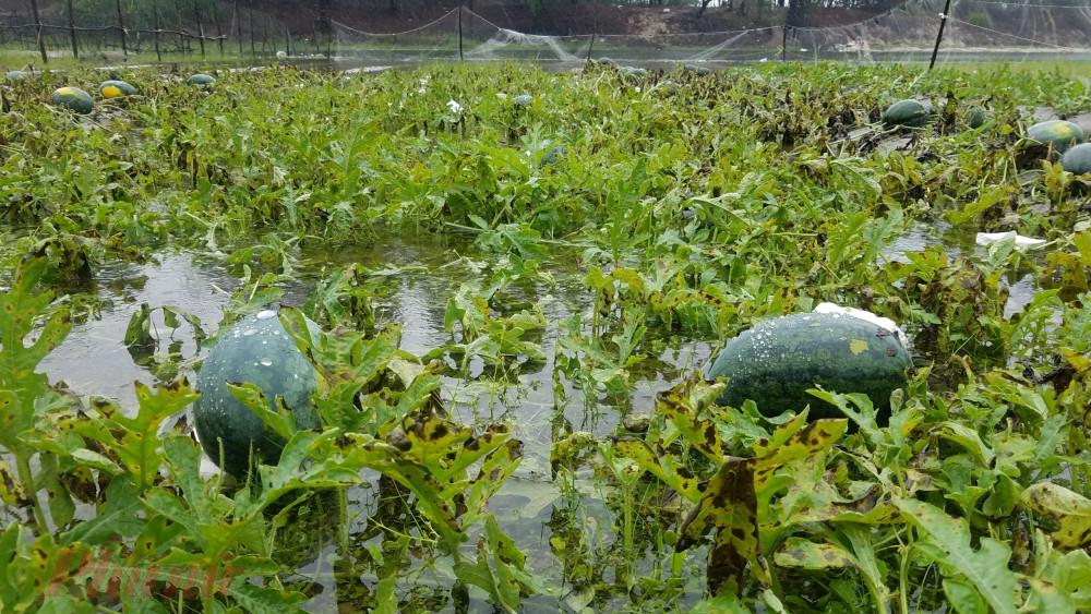 Đặc biệt có nhiều quả dưa chỉ cần một tuần nữa  có hể thu hoạch nhưng nước ngập tràn