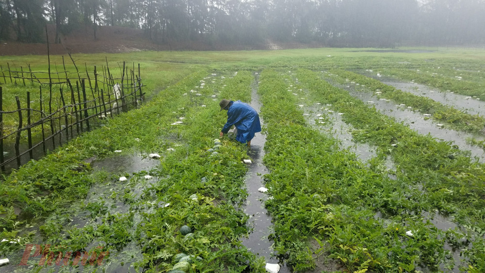 Ông Võ  Xê một người trồng dưa hấu lâu nay ở đây cho biết, hiện tại dưa hấu chuẩn bị thu hoạch nổi bồng bềnh trên mặt nước, dù gia đình đã cố gắng đem vào gần một tấn dưa vào nhà nhưng không biết cách nào để bán hết số dưa đã thu hoạch