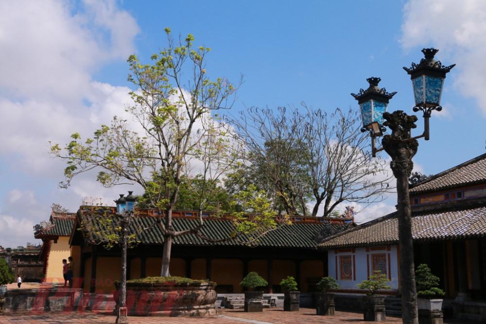 Sau 45 ngay ưỡn mình đơn độc nở hoa cùng gió đông, ngày hoàng cung mở cửa trở lại cây ngô  đồng bên Trường Lang đã hết trổ hoa