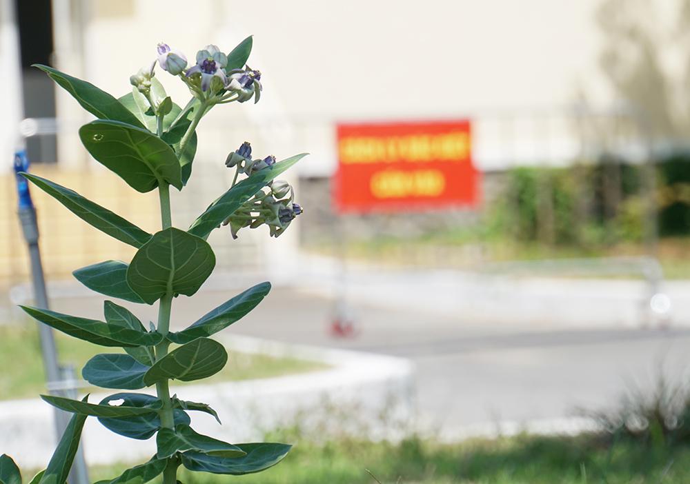 Bệnh viện Điều trị COVID-19 huyện Cần Giờ sạch bóng bệnh nhân cũng là lúc những chồi xanh đua nhau vươn lên, những bông hoa tươi thắm bắt đầu nở rộ chúc mừng.
