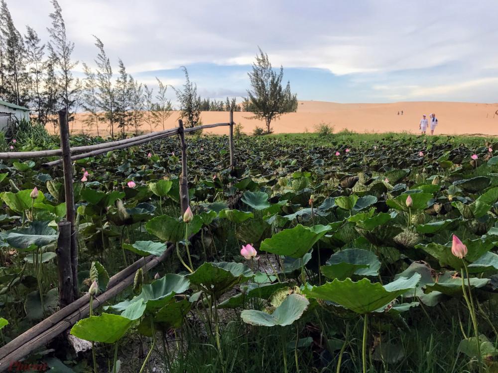 Hồ sen ở Bàu Trắng