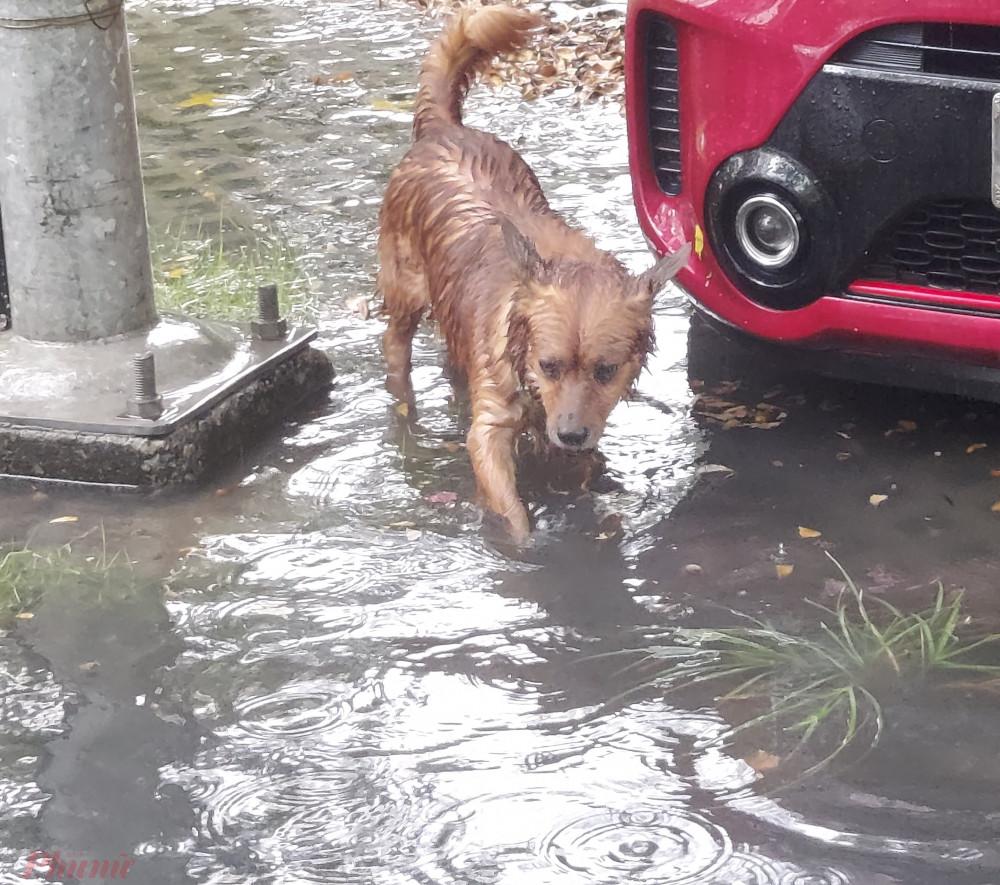 Một chú chó bị mắc kẹt giữa dòng nước ngập.