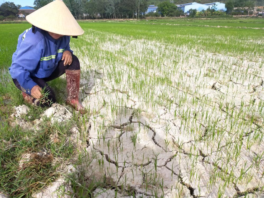 Ruộng đồng ở tỉnh Bình Định nứt nẻ do hạn hán