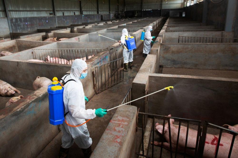 Dịch cúm heo châu Phi, vô hại với con người nhưng gây chết hàng loạt heo chăn nuôi dẫn đến tình trạng thiếu loại thịt chủ yếu trong bữa ăn của người Trung Quốc - Ảnh: Reuters