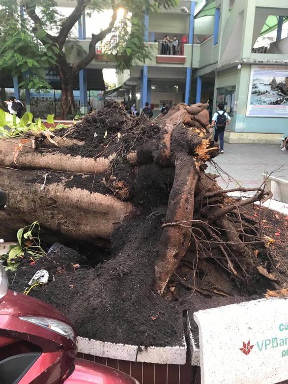 Phần rễ cây quá nhỏ, ngắn không đủ sức giữ thân cây