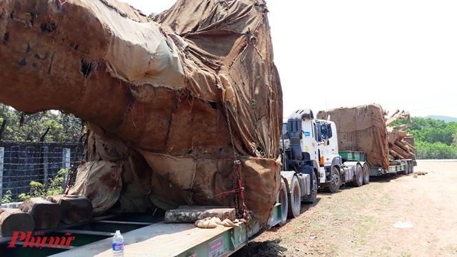 Trước đó, vào cuối tháng 3/2018, CSGT tỉnh Thừa Thiên -Huế đã chặn bắt 3 cây cổ thụ chở trên xe tải siêu trường siêu trọng từ Tây Nguyên về