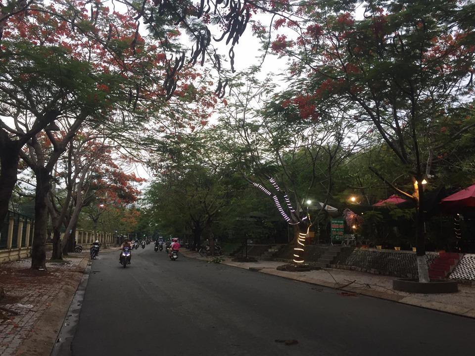 Dọc đường 297 trồng rất nhiều cây phượng 2 bên đường.