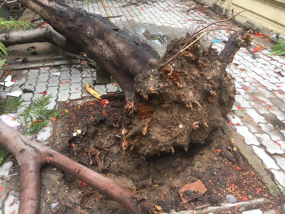 Gần 18g chiều 28/5, lực lượng chức năng quận 9 (TPHCM) vẫn đang giải quyết vụ việc cây xanh bật gốc vừa xảy ra trên địa bàn.