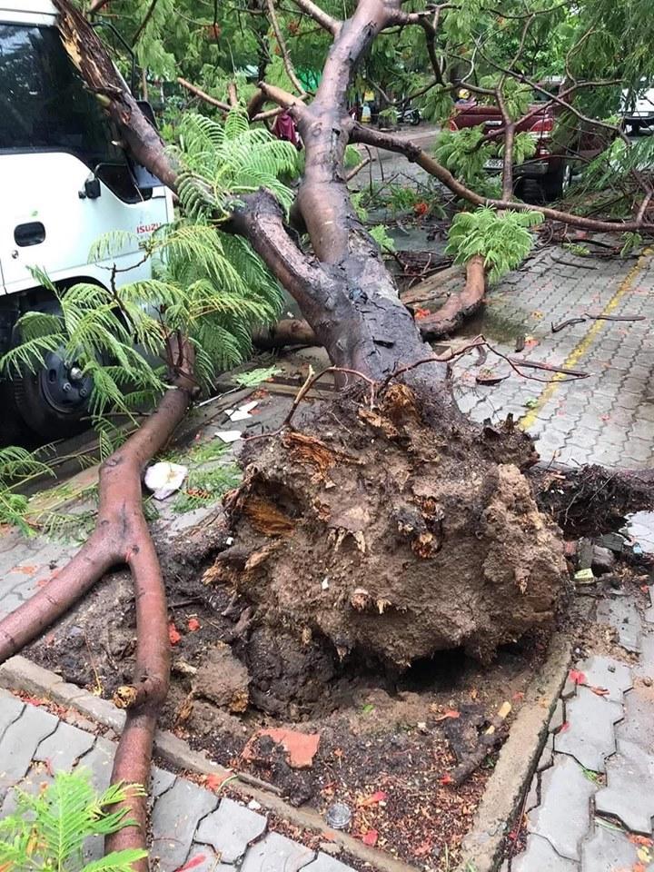 Cây phượng bật gốc khi trời có mưa và gió. Phần thân cây đè lên hông bên phải của đầu chiếc xe tải, gây hư hỏng.