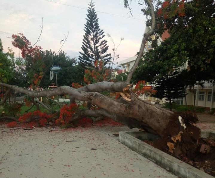 Theo ông Y Khoa Niê Kđăm, Phó hiệu Trưởng Trường Cao đẳng Công nghệ Tây Nguyên, cây phượng cổ thụ ngã đổ do mối mọt ăn hư hỏng bộ rễ