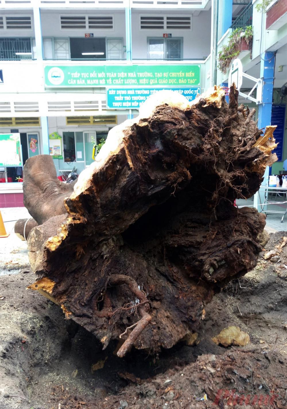 Sự thật là toàn bộ rễ cây đã mục nát, cây có thể bật gốc bất cứ lúc nào