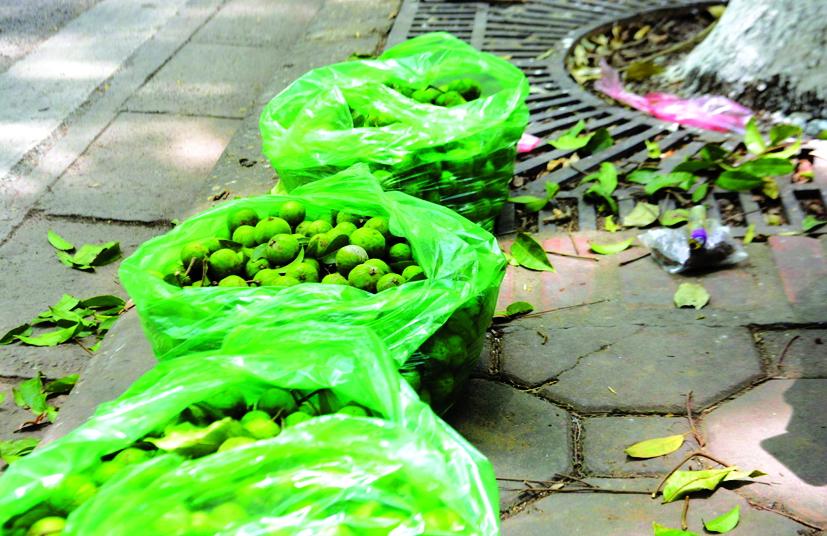 Sấu hái xong, được bày bán ngay dưới gốc cây